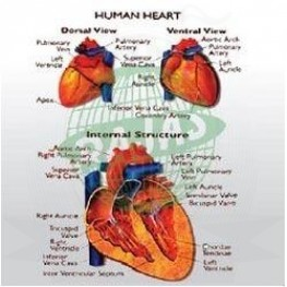 VKSI Human Heart Chart