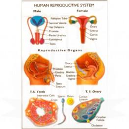 VKSI Human Reproductive System Chart
