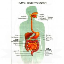 VKSI Human Digestive System Chart