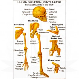VKSI Human Skeleton, Joints & Limbs Chart