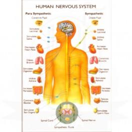 VKSI Human Nervous System Chart