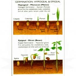 VKSI Germination - Hypogeal & epigeal Chart