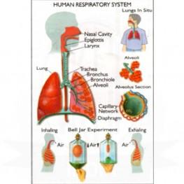VKSI Human Respiratory System Chart