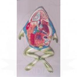 VKSI Frog Dissection Model