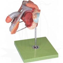 VKSI Male Genital Organs Model