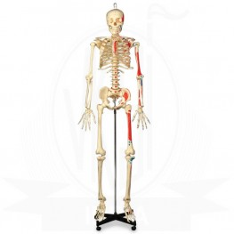 VKSI Human Muscular Skeleton Model