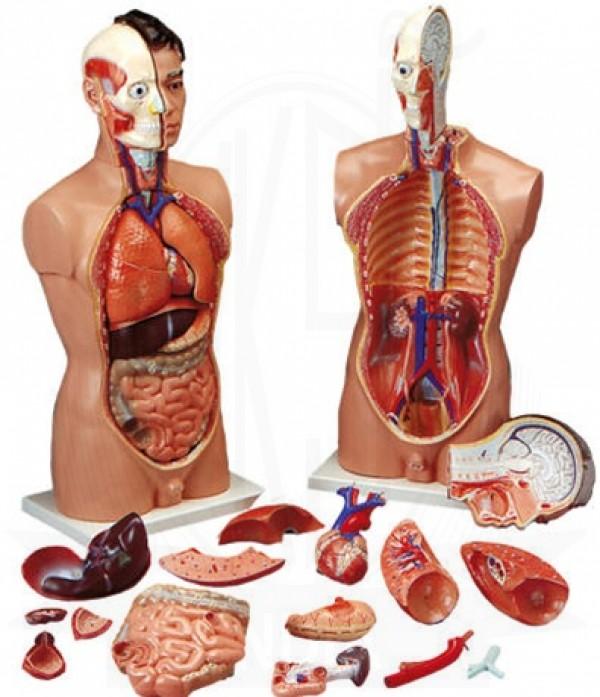 Vksi Human Anatomy Torso Male Model