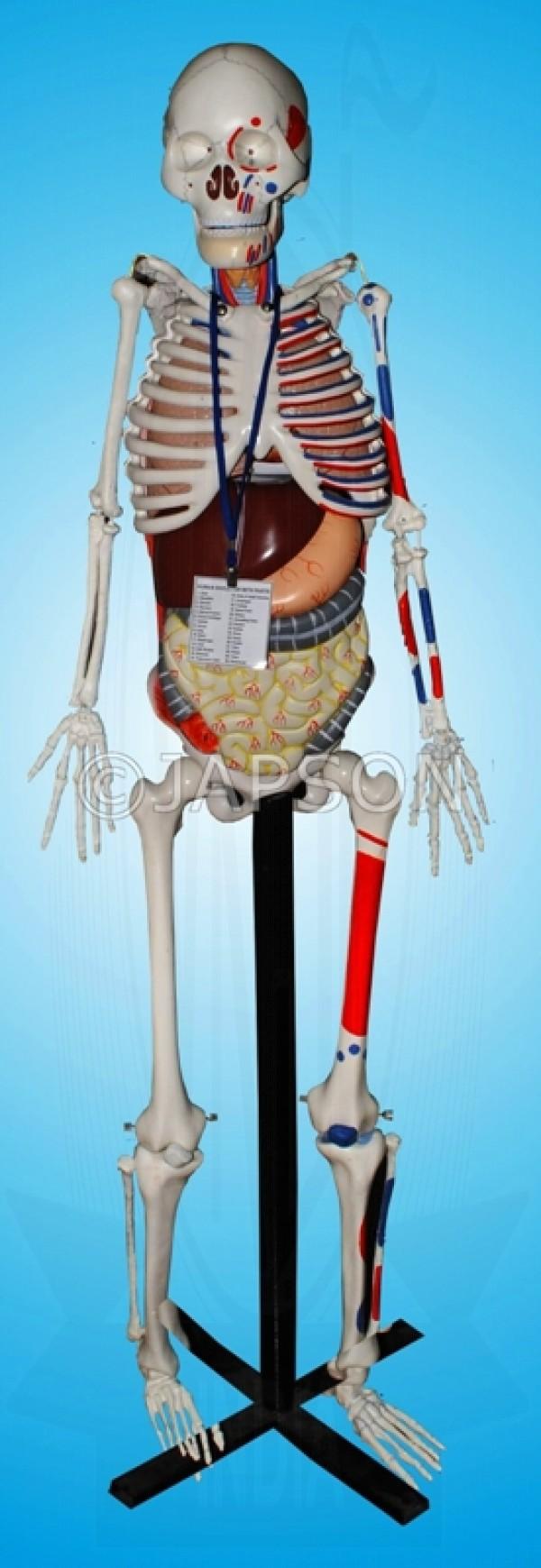 VKSI Human Skeleton with Internal Organs